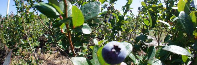 New Vendor: Lake Catherine Blueberries